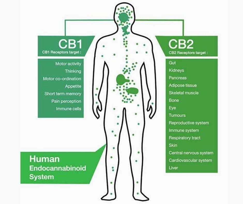 diagram of endocannabinoid system